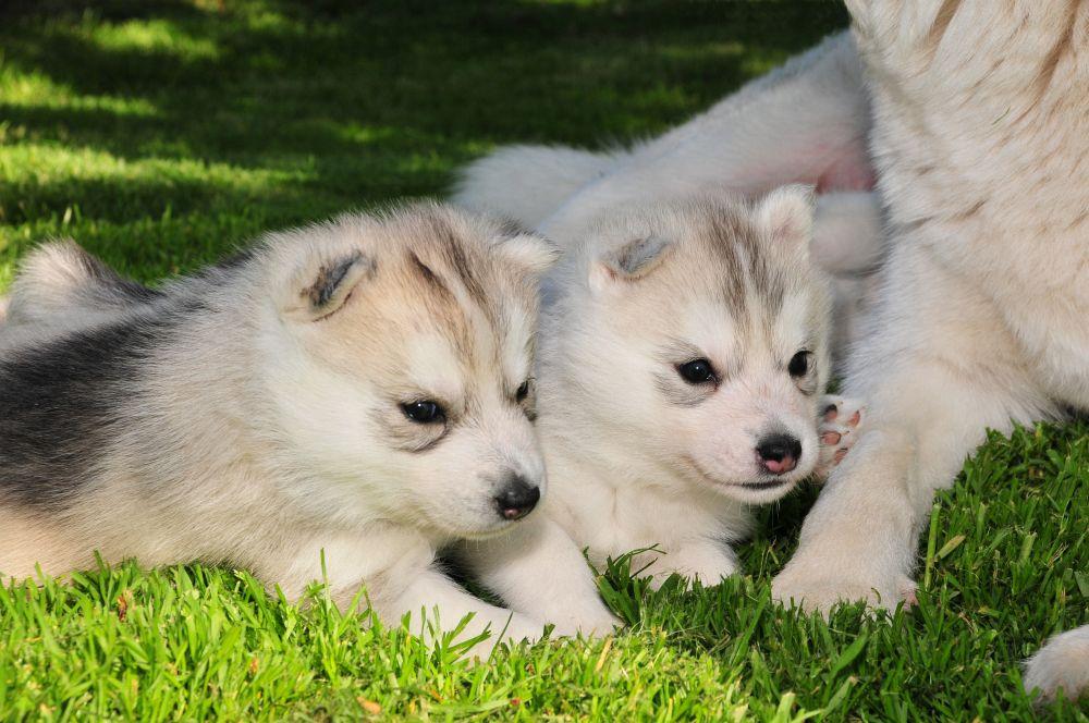 Huskies Pflege im Welpenalter