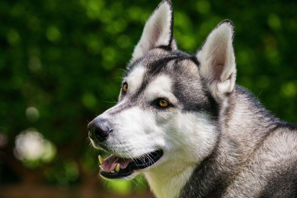 Husky Charakter und Wesen