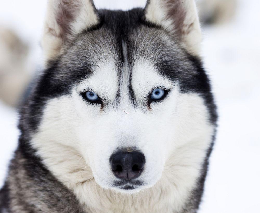 Augen Reinigen beim Husky
