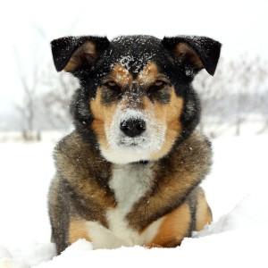 Husky Mischling im Schnee
