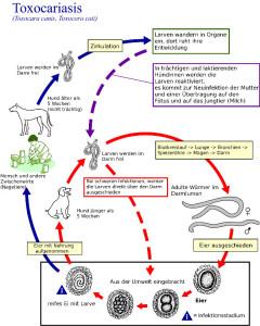 So funktioniert der Wurmbefall beim Hund