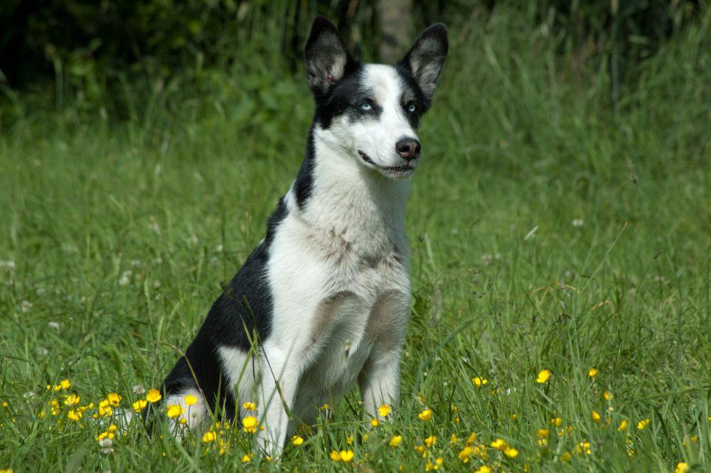Ist ein Husky Mischling gesünder als ein reinrassiger Husky?