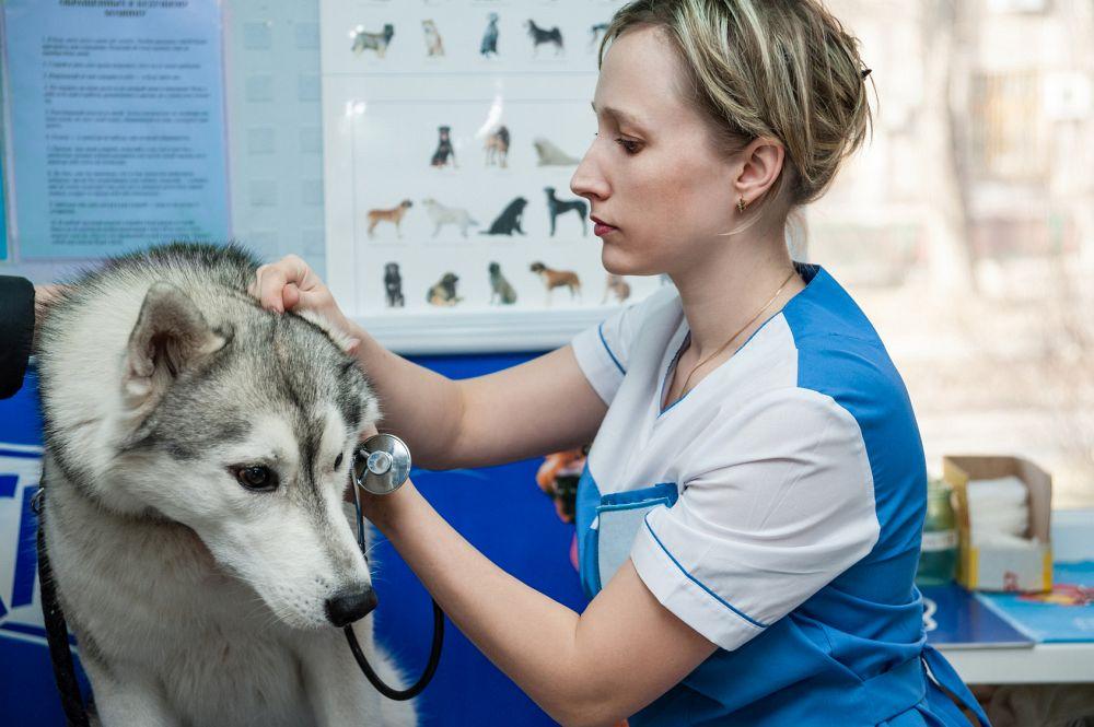 Husky Ohrenschmerzen Tierarzt