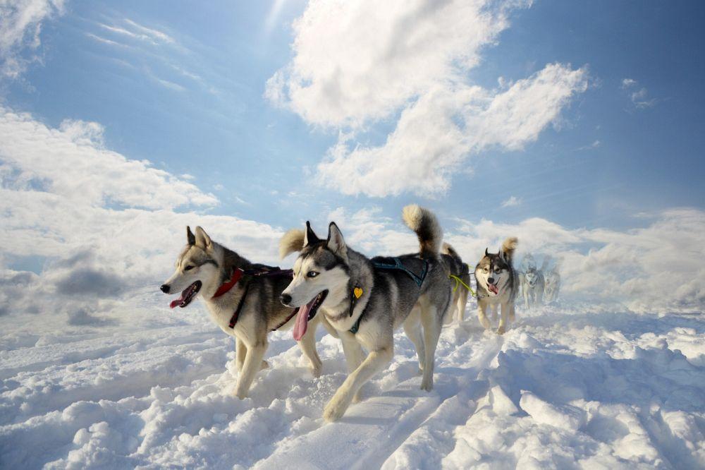 Siberian Husky im Schnee
