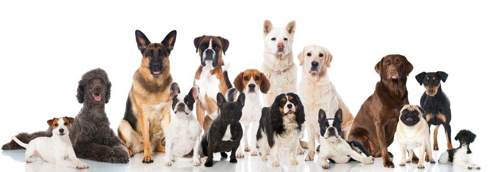 Lebensdauer des Husky im Vergleich mit anderen Hunderassen