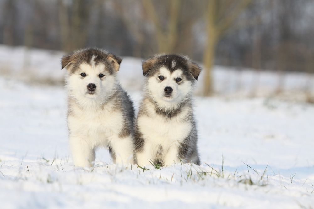 Huskies And Small Dogs