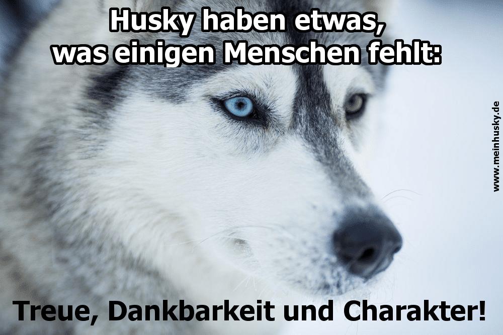 Ein Husky im Schnee