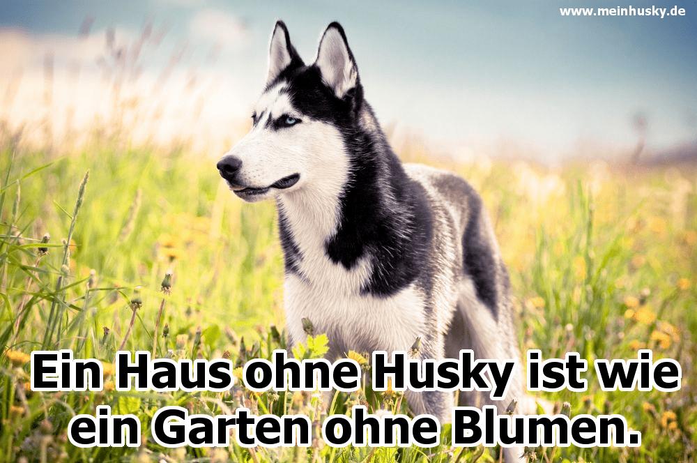 Ein Husky im Garten