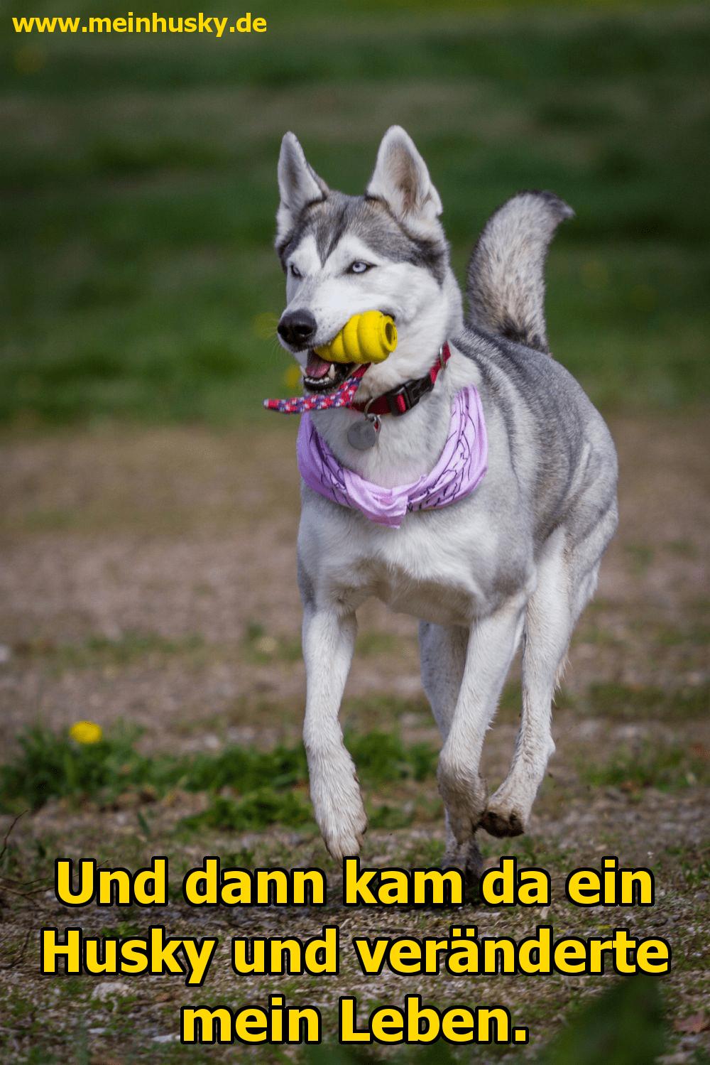 Ein Husky spielt auf dem Rasen mit seinem Spielzeug