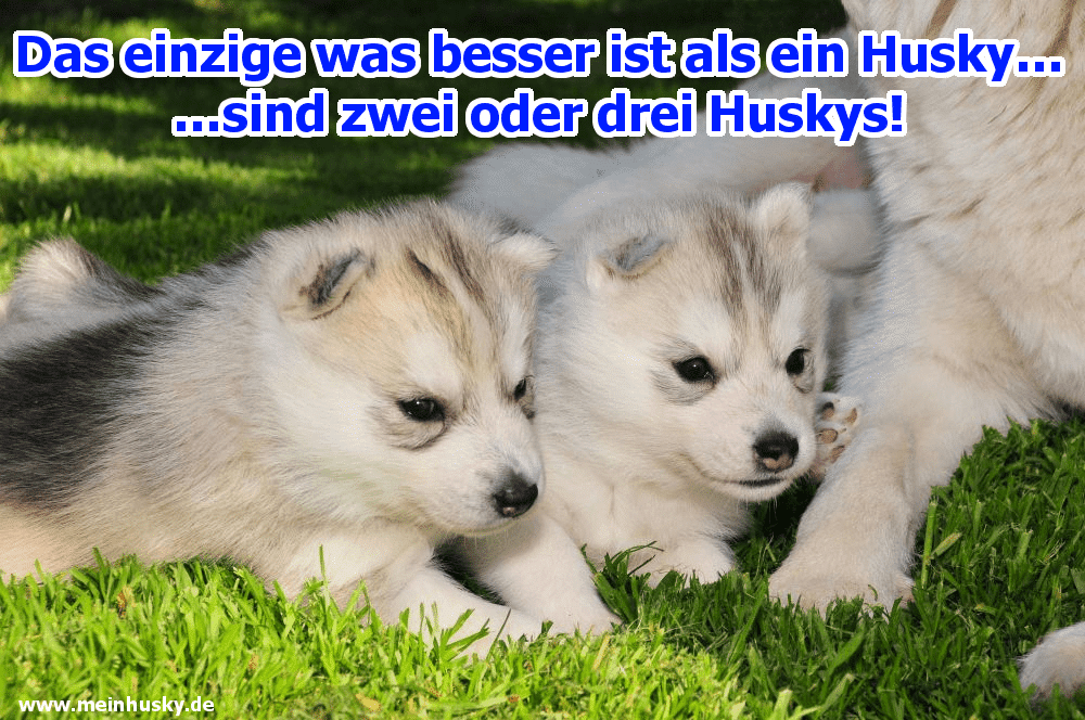 Zwei Husky Welpen liegen auf dem Gras