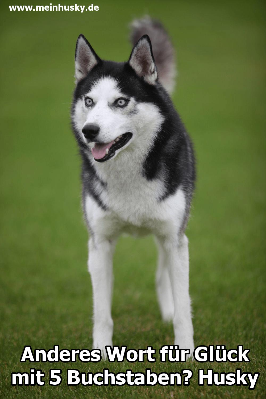 Ein schöner Husky auf dem Rasen