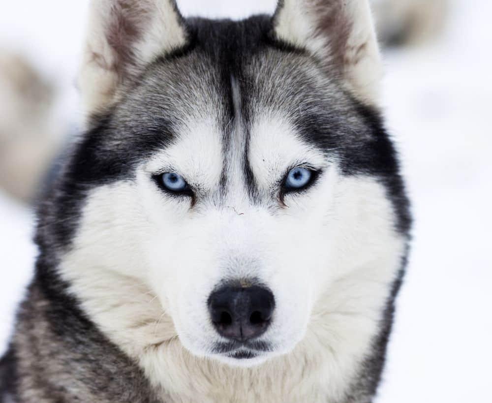 Hund Husky mit blauen Augen im Schnee