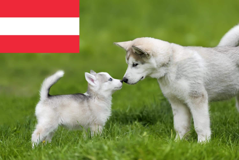 Der Husky - MeinHusky.de